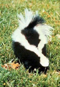 200px-skunk.jpg