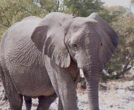 pregnant-elephant.jpg